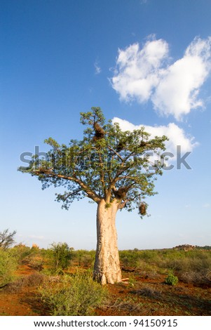 A baobab tree filled with bird nests