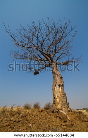 A baobab tree photographed from below on a sunny day - stock photo