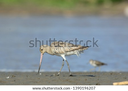 a Bar-tailed Godwit(Limosa lapponica) bird foraging on the coastal estuary during the migration season