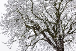 A bare deciduous tree and its many branches are covered with a thin layer of fresh snow during winter.