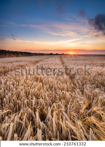 A barley field at sunset near Padstow in Cornwall