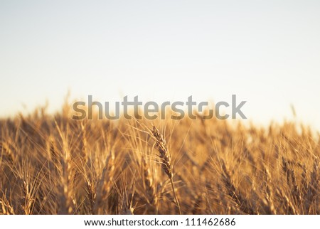 A barley field lit by the setting sun #111462686