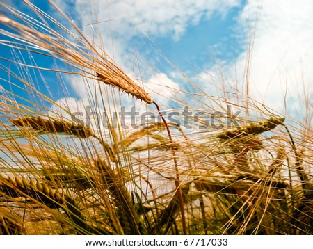 A barley field with shining golden barley ears in late summer