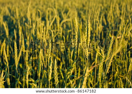 A barley field with shining green barley ears in early summer