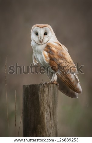 A Barn Owl perches on a fence post as it hunts in the fens.
