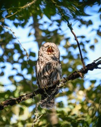 A barred owl in the forest calling with its beak open.  These raptors have spread into the Pacific Northwest of North America from their traditional home range and is visible here during daytime