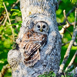 A Barred owl perched in front of a white oak nesting hole on a spring day in North Alabama.