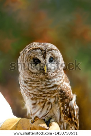 A Barred owl rests on a handlers gloved hand at a bird show. Sharp claws make leather gloves a must!