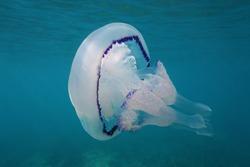 A barrel jellyfish Rhizostoma pulmo underwater in the Mediterranean sea, Calabira, Tropea, Italy