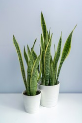 A basin ofSansevieria trifasciata on the white table. Two pots of tiger orchid on the white table.