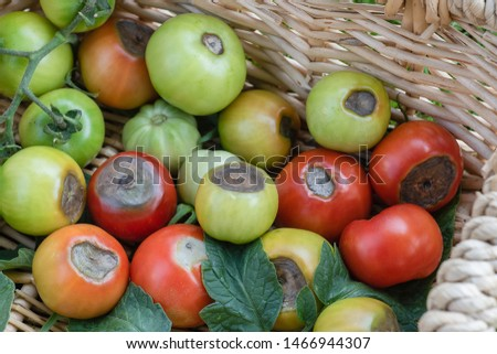 A basket showing tomatoes blossom end rot #1466944307