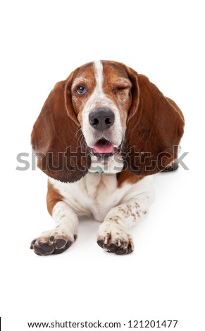 A Basset Hound dog laying down against a white backdrop and winking with one eye