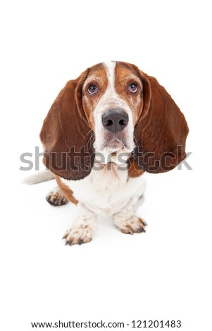 A Basset Hound dog sitting against a white backdrop and looking at the camera with a sad face