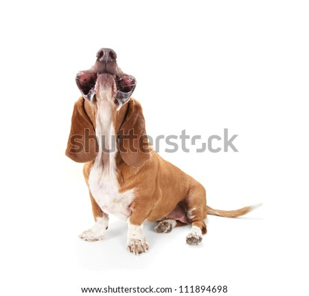 a basset hound isolated on white with her mouth facing up