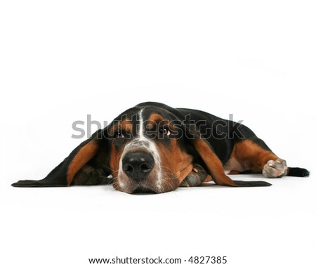 a basset hound lying down on a white background