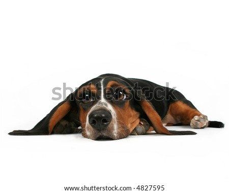 a basset hound lying down on white background