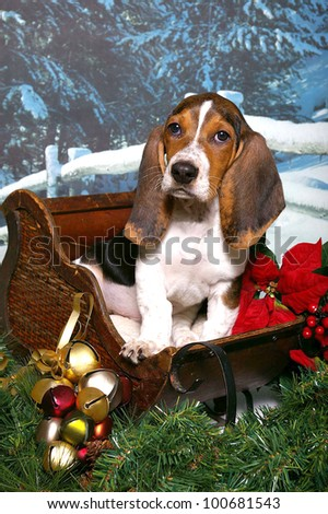 A basset hound puppy sits in a wooden sleigh decorated with Christmas bells, red poinsettias, and evergreen boughs