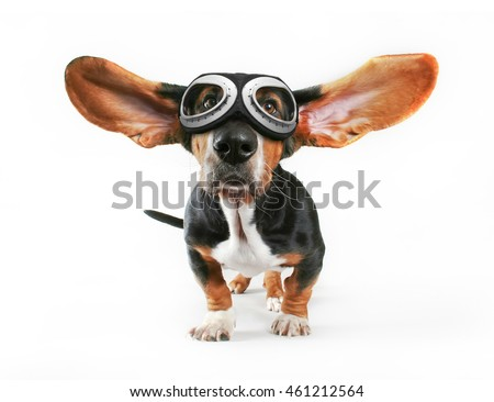 a basset hound with his ears...