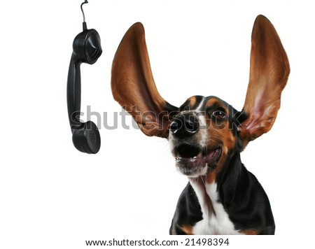 a basset hound with long flapping ears