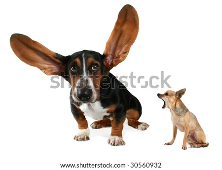 a basset hound with long flying ears and a chihuahua
