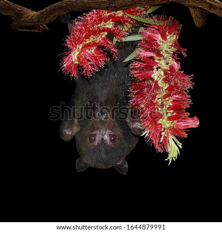 A bat that hangs upside down on a branch with red flowers isolated in front of a black background, thought to cause coronavirus disease.