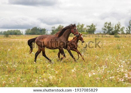 A bay mare in a red bridle with her little foal runs through a green meadow to pasture Сток-фото ©