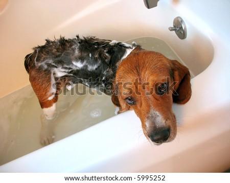 A beagle dog about a year old, getting a bath.