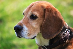 A Beagle dog – hare and rabbits hunter. Dog beagle with collar on the green background is looking into the distance