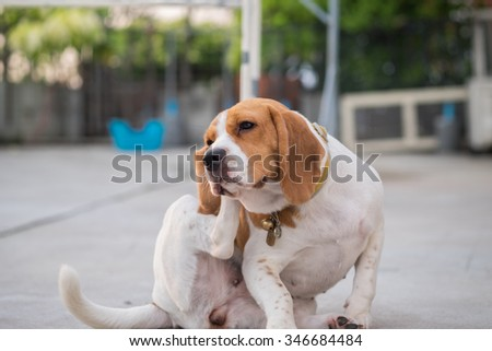 A beagle dog's scratching her ear (Selective Focus Point) #346684484