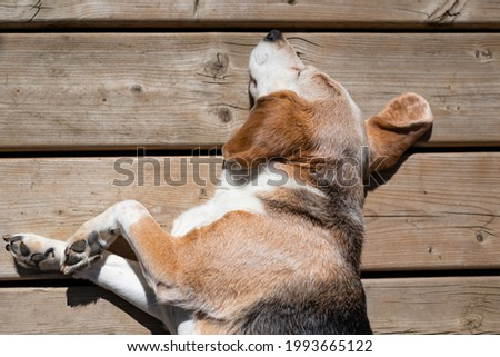 A beagle laying in the sun on a deck