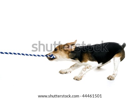 A beagle puppy pulling on a rope