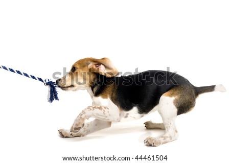 A beagle puppy tugging on a rope