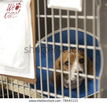 a beagle recuperating at a vet's hospital