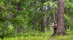 A bear cub hides behind a tree and shows its tongue. Cub of Brown Bear in the summer forest.  Natural habitat. Scientific name: Ursus arctos.