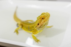 A bearded agama bathes in water. Pogona vitticeps takes a bath. Lizard drinks water.