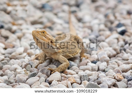 A Bearded Dragon Lizard (Pogona vitticeps) on pebble stones.