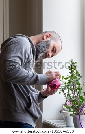 A bearded man in a gray hoodie caring for home flowers in pots on the windowsill. 43-year-old man wipes leaves from dust