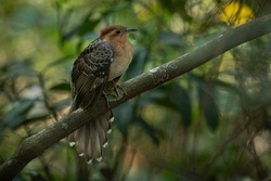 A beatiful Pavonine Cuckoo (Dromococcyx pavoninus) in the Atlantic Forest.
