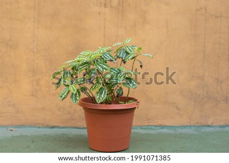 A beautful pilea cadierei herbaceous plant with green and silver foliage in a brown pot Photo stock ©