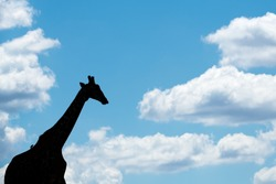 A beautiful abstract photograph of a walking giraffe silhouetted on the horizon against a deep blue sky and framed with white puffy clouds, taken in the Madikwe Game Reserve, South Africa.