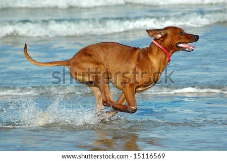 A beautiful active African male Rhodesian Ridgeback hound dog with cute expression in the face playing wild by jumping and running fast in the sea on the beach