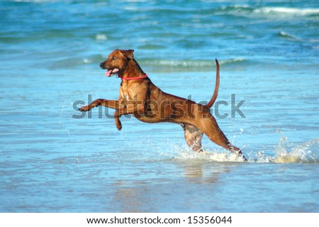 A beautiful active African male Rhodesian Ridgeback hound dog with cute expression in the face playing wild by jumping and running fast in the sea on the beach in South Africa in summertime