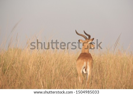 A beautiful African impala in the tall grasslands of Uganda. #1504985033