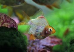 A beautiful albino short body tiger barb (Sumatra barb) is swimming in freshwater aquarium. Puntigrus tetrazona is tropical cyprinid fish.