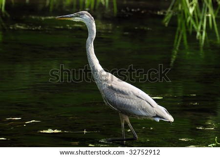 A beautiful and cautious Great blue heron looking for food