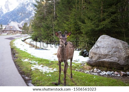 A beautiful and cute deer stands near the road near the high mountains.  Dense forest.  Rest at nature. #1506561023