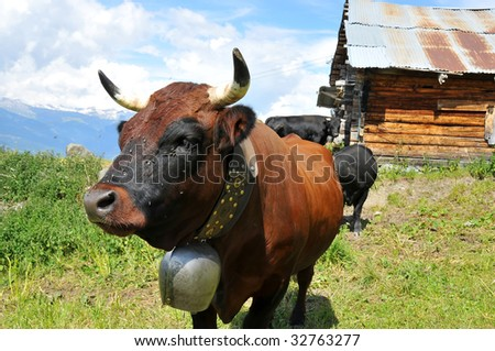 a beautiful and friendly  brown cow (herens breed) at pasture in front of an old log cabin