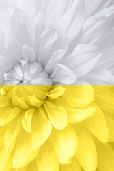 A beautiful aster flower close-up macro illuminating, yellow and grey, ultimate color. Perfect background color year 2021. The trend of the spring and summer season in the fashion design industry.