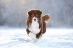 A beautiful Australian Shepherd dog is walking in the snow. Backlit dog in winter