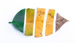 A beautiful autumn leaf divided into four parts of different colour. Yellow, green, orange and red cut tree leaf Isolated on white. Seasons change concept.